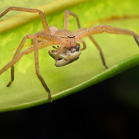 Huntsman spider (family Sparassidae) feeding on a young Madagascar day gecko (Phelsuma quadriocellata).