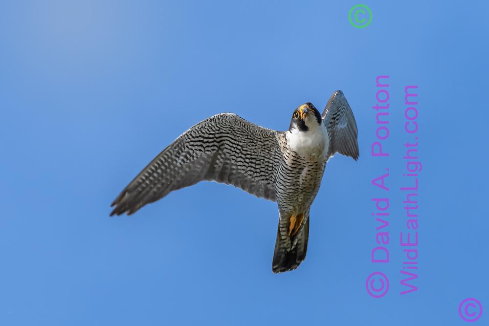 Peregrine falcon making a banking turn after missing a strike at prey. © 2015 David A. Ponton
