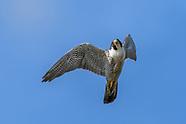 AERIAL ECOLOGY: PEREGRINE FALCON HUNTING BIRDS IN FLIGHT