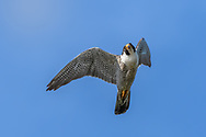 Peregrine falcon making a banking turn after missing a strike at prey. © 2015 David A. Ponton
