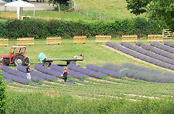 ©Licensed to London News Pictures 15/07/2020     <br /> Sevenoaks, UK. July is the best month to harvest lavender, workers picking the purple crop. Fields at Castle farm in Sevenoaks, Kent are blooming with purple English lavender. The lavender is ready to be harvested and is shipped around the world for use in food and beauty industries. Photo credit: Grant Falvey/LNP