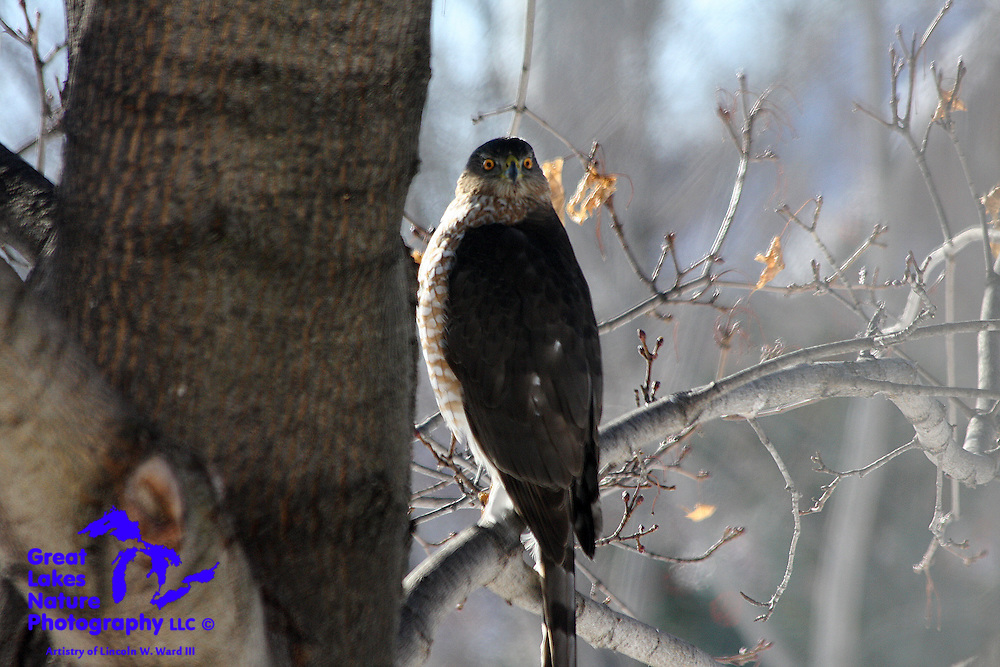 The winter of 2008-09 was equally challenging for raptors and foraging animals. This Cooper's Hawk blends so very well with the bare maple tree. Remaining motionless enables this formidable hunter to avoid detection, as he waits for a careless rabbit, squirrel, or mourning dove to enter his field of vision.