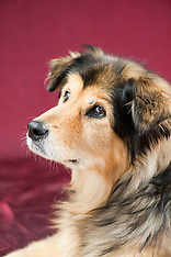 Delyla - Collie Mix
