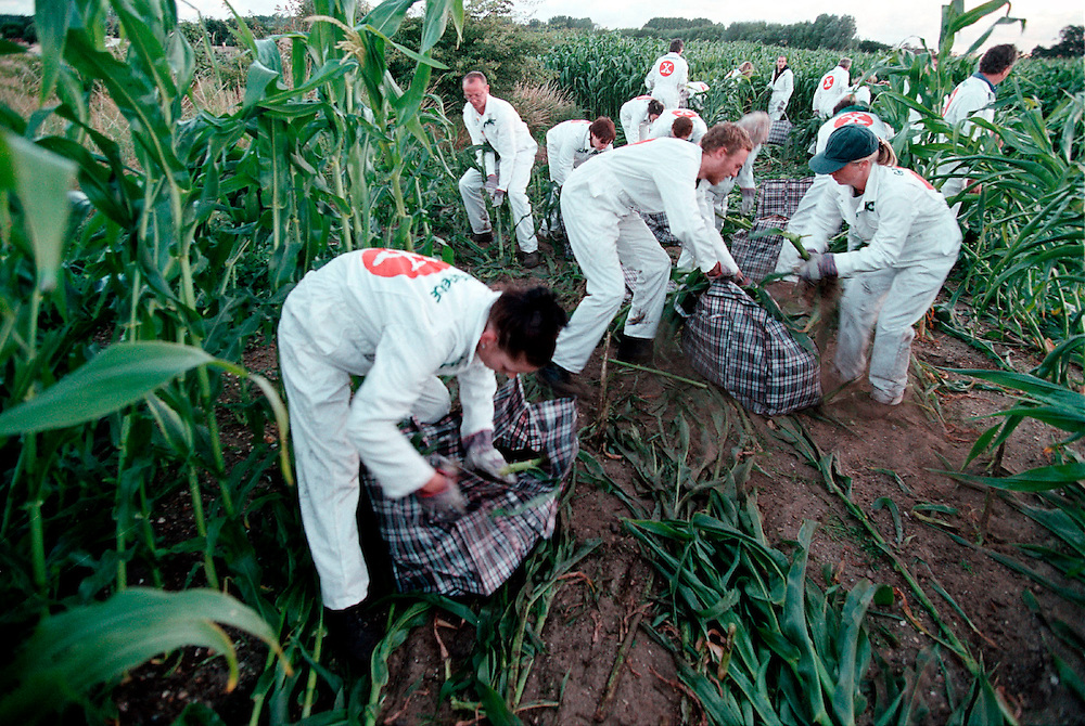 Greenpeace removing genetically engineered maize from trial farm in Lyngt, UK. Accession #: 2.99.397.001.12
