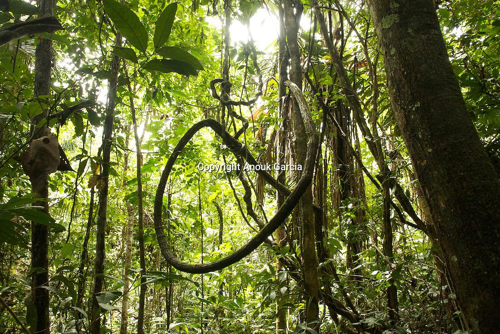 liane amazonienne  |  amazonian liana
