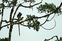 Brown Sicklebill Bird of Paradise (Epimachus meyeri)<br />adult male at calling perch in the canopy