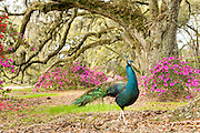 A peacock pauses amongst centuries old Live Oak trees covered with Spanish moss during the peak blooms of southern azaleas on the first day of spring at Magnolia Plantation March 21, 2016 in Charleston, SC.