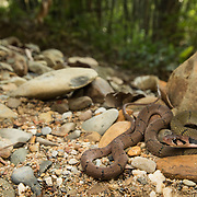 Black-banded Keelback (Rhabdophis nigrocinctus) in its habitat in Khlong Nakha Wildlife Sanctuary, Thailand