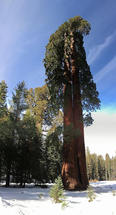 iPhone 6s vertical panorama of Clara Barton Tree in Sequoia National Park, California.