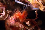 Keel Worm (Pomatoceros triqueter).   Location: Norway