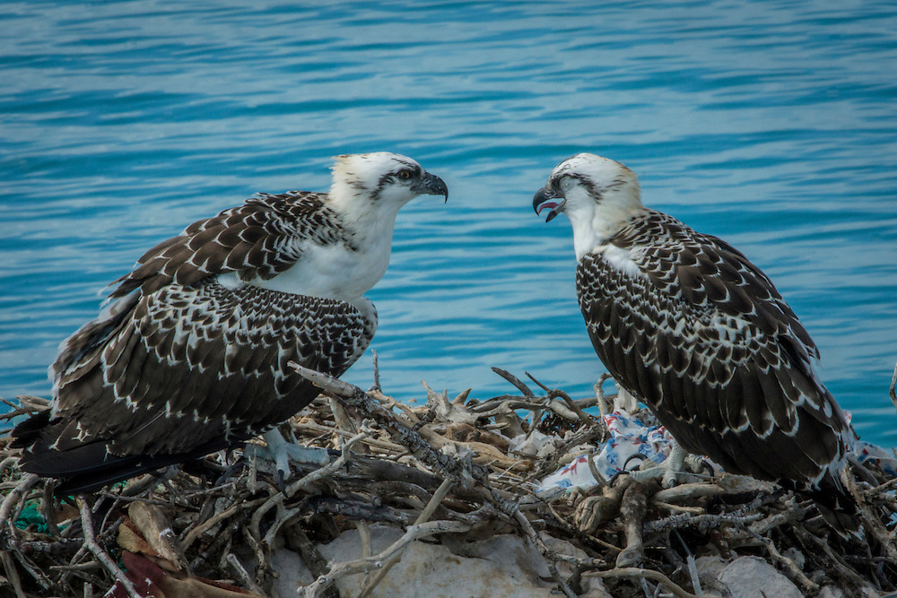 Ospreys are large birds of prey who are the second most widely distributed raptor species on Earth.  They are found on all continents except Antarctica.