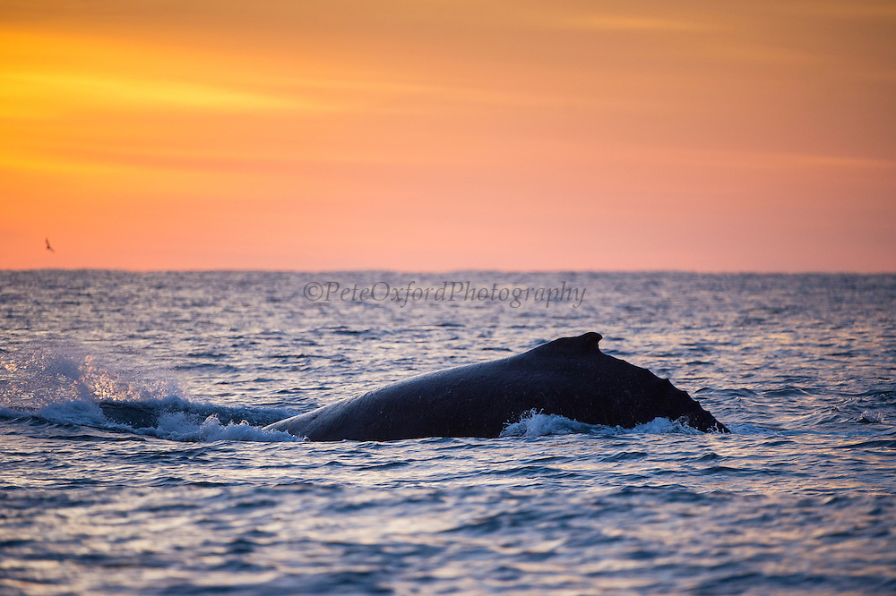 Humpback Whale at sunrise (Megaptera novaeangliae)<br /> Sardine run,<br /> Eastern Cape<br /> SOUTH AFRICA