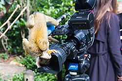 ZSL London, August 21st 2014. A curious squirrel monkey examines a video camera as ZSL London holds its annual animal weigh and measure day to update their databases.