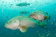 Goliath Grouper, Epinephelus itajara, display their white coloration / phase during the 2014 summer spawning aggregation offshore Singer Island, Florida, United States.