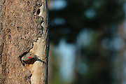 Northern flicker nesting in a lodgepole pine snag. Yaak Valley in the Purcell Mountains, northwest Montana.