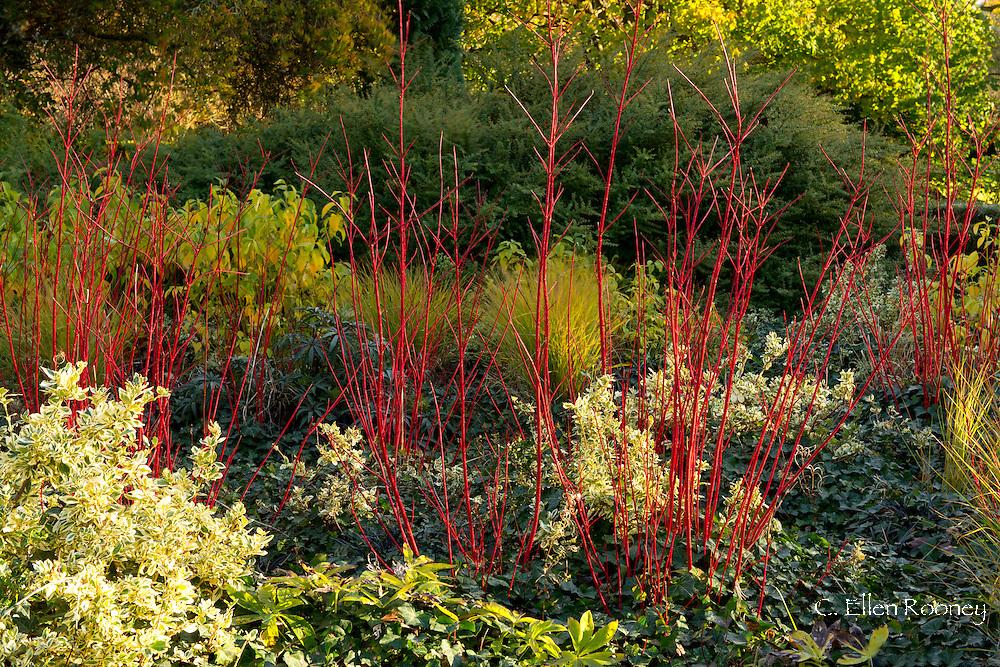 Cornus alba 'Sibirica' growing in The Cambridge Botanic Garden, Cambridge, England