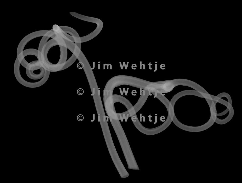 X-ray image of wild grape vine tendrils (Vitis sylvestris, white on black) by Jim Wehtje, specialist in x-ray art and design images.