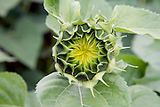 close up of a budding sunflower in the field