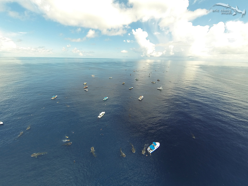 Aerial image of whale sharks (Rhincodon typus) at the largest known aggregation near Isla Mujeres, Mexico. They gather every summer to feed on tunny (bonito) eggs. Up to 80 boats per day carry tourists to see the spectacle.