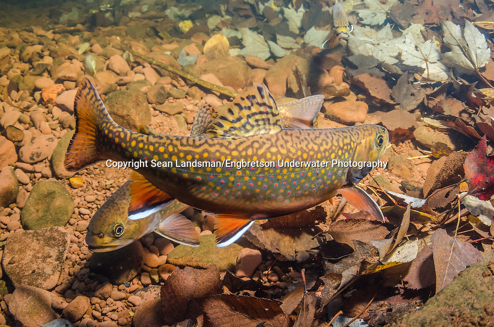 Brook Trout (Spawning Pair)<br /> <br /> Sean Landsman/Engbretson Underwater Photography
