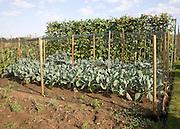 Runner bean and cabbage plants growing in an allotment garden, Shottisham, Suffolk, England