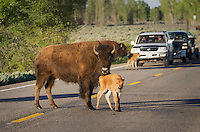 Herd of Bison crossing road in Grand Teton National Park Wyoming