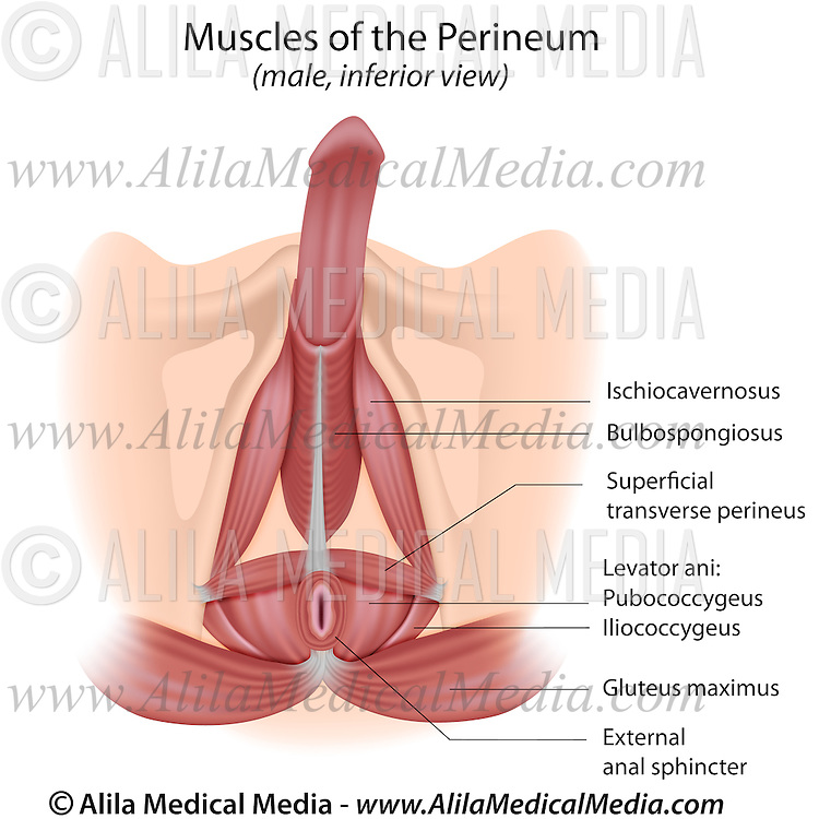 Muscles Of The Pelvis And Perineum In Men Alila Medical Images