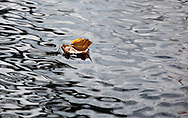 A solitary leaf floats among ripples on a small pond within Cape Cod National Seashore.