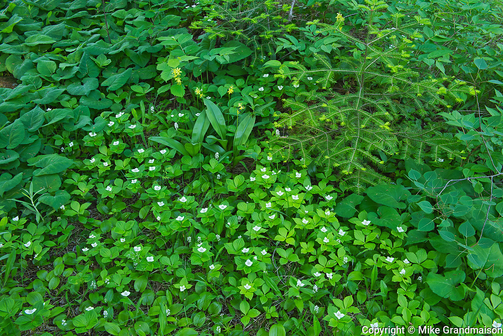 Bunchberry (Cornus canadensis) blossoms <br />