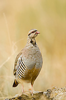Immature Chukar Partridge introduced to the United States in the west as a game bird.