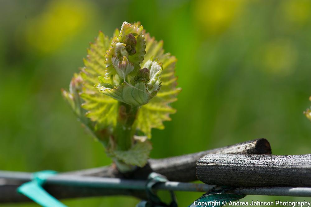 Bud Break, Lachini Vineyard, Newberg, Oregon
