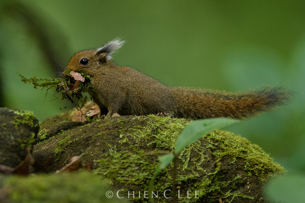 With a mouthful of dry moss, a Whitehead's Pygmy Squirrel (Exilisciurus whiteheadi) pauses cautiously to make sure nobody is watching before disappearing into its nest in a rock crevice. Endemic to the island of Borneo, this tiny squirrel lives only in cool montane rainforests.