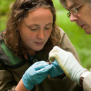 Danielle Linton (left) studying bats. Wytham woods. Since 2006 a team of volunteers has undertaken over 15,000 box checks looking for bat roosts in the 1200 Schwegler boxes maintained by the EGI across Wytham Woods. By ringing individual bats and recording their recapture histories it has been possible to determine that at least seven colonies of Natterers' bats are present within the woods, each with discrete roost territories.  Natterers' females and males belong to a single colony.  For Daubentons' bats, M. daubentonii, however, the colonies which maintain roost territories are entirely female.  A large population of male Daubentons' bats roosts across the woods and an individual male may associate with several female colonies.<br /> Breeding success and the lifetime fitness of juvenile bats is strongly influenced by weather conditions during the July to September maternity period.  <br /> More research is needed e.g. to compare foraging and roosting territories between colonies, record patterns of artificial versus natural roost occupancy, and determine the genetic relationships within and between colonies.