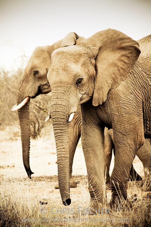 African Elephants, Legodimo Nature Reserve, Botswana