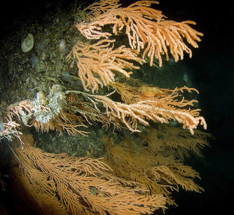 Red tree coral (Primnoa resedaeformis) Norway Haddock (Sebastes viviparus). Location : Trondheimsfjorden, Norway