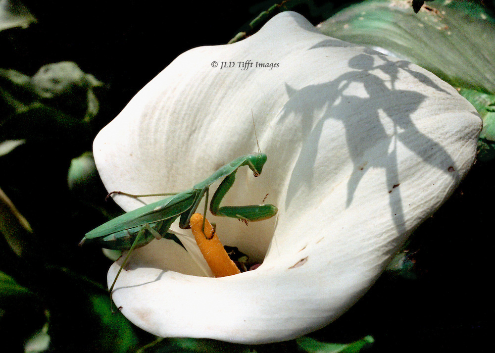 Grasshopper sitting in a calla lily, its shadow thrown on the petal or spathe, while the insect clutches the yellow spadix.