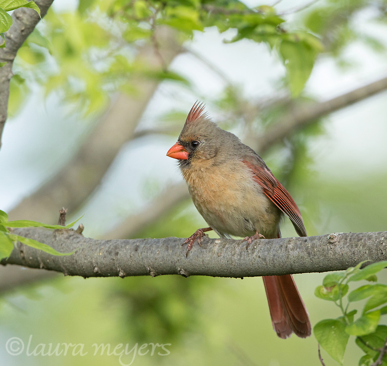 Female Northern Cardinal on branch with other trees in background at Jamaica Bay Wildlife Refuge.