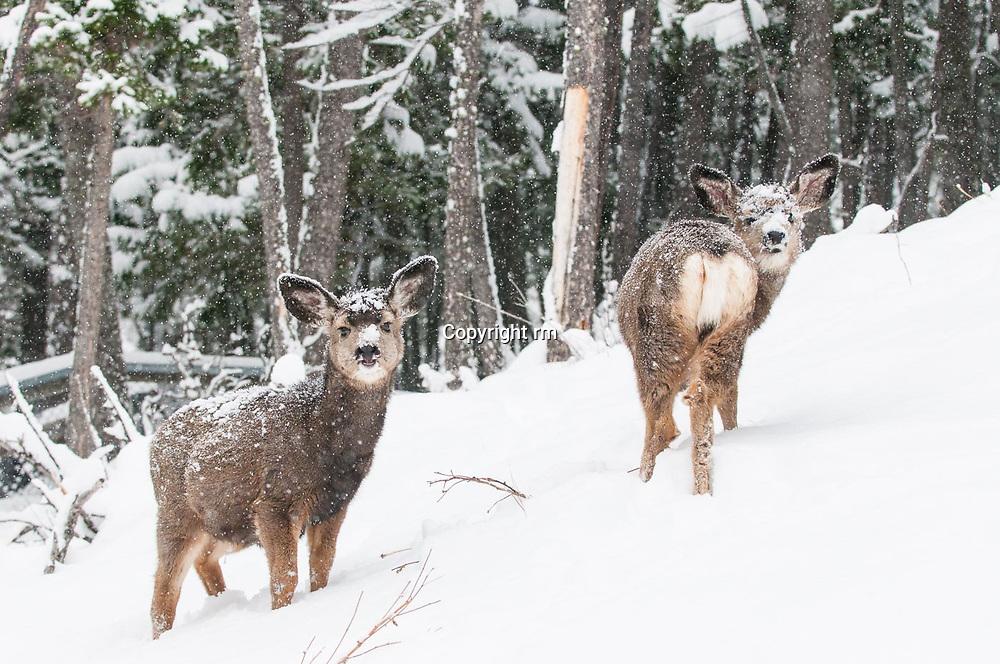 rutting mule deer in deep snow cold weather winter