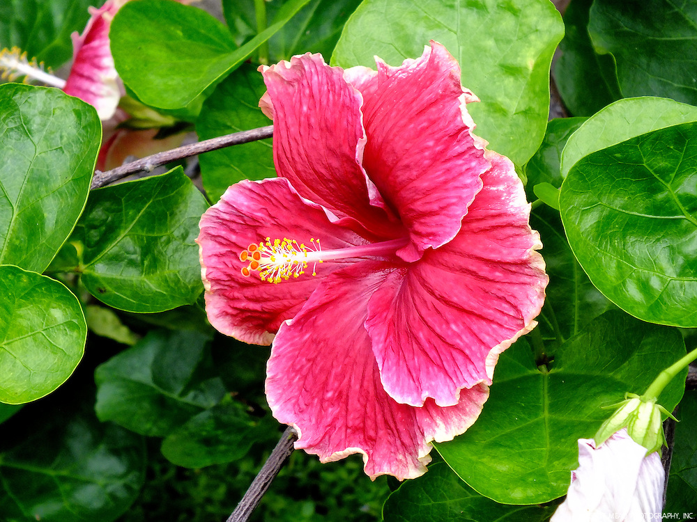 Two fuscia hibiscus flowers in bloom in Keauhou, Big Island, Hawaii