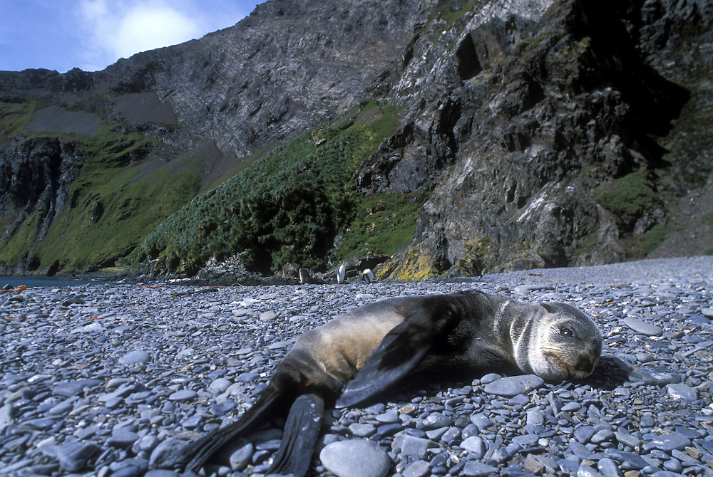 South Georgia Island, Antarctic Fur Seals (Arctocephalus gazella) in late summer sunshine along Hercules Bay
