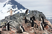 Jan 18, 2017 - Orne Island, Antarctica - Chinstrap penguins and their chicks sit in a rookery on Orne Island in Antarctica. <br />  ©Ann Inger Johansson/zReportage/Exclusivexpix media