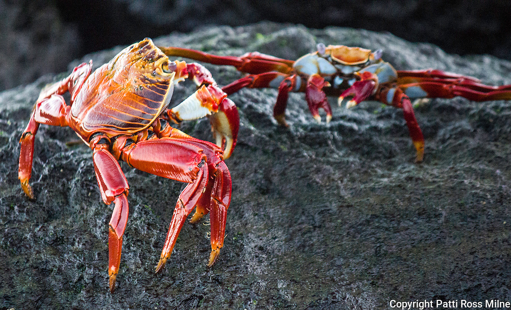 Sally Lightfoot crabs, also known as red rock crabs. Their beautiful colouration makes them stand out against the black lava rock they inhabit.