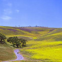 Wildflowers in Los Olivos, CA.