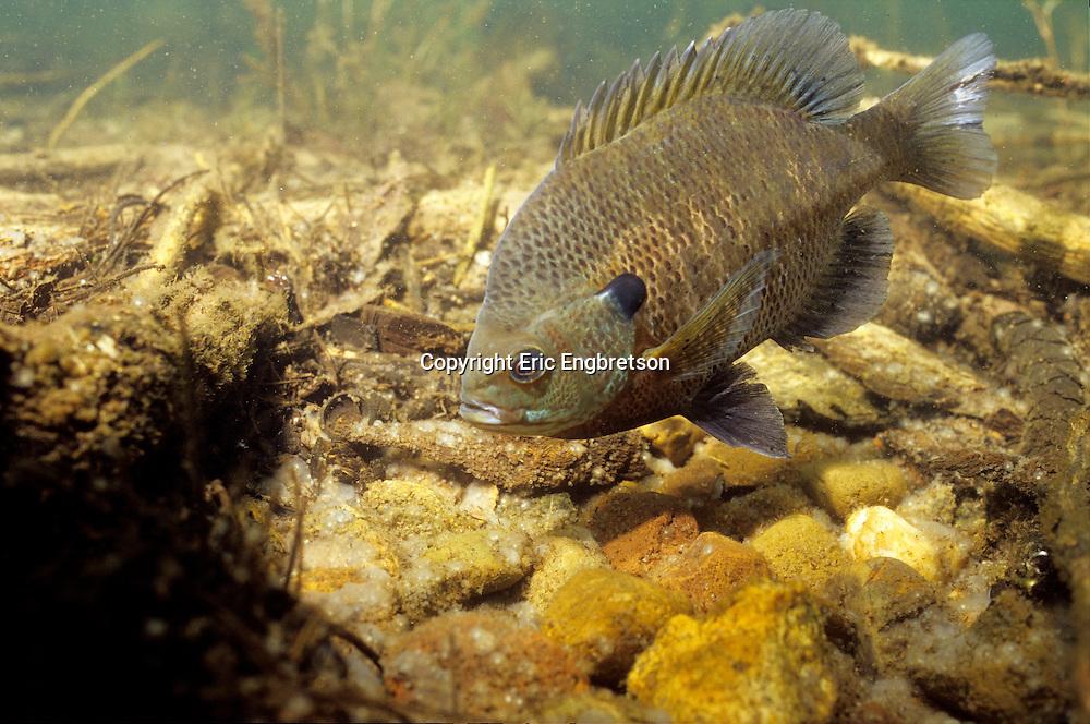 Bluegill Sunfish guarding eggs/nest<br /> <br /> ENGBRETSON UNDERWATER PHOTO