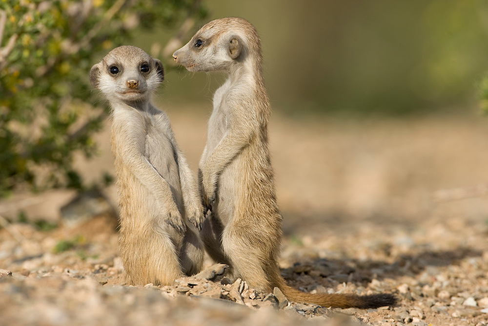 Africa, Namibia, Keetmanshoop, Meerkat Pups (Suricate suricatta) in Namib Desert