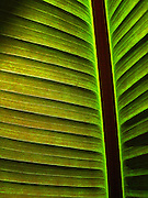 Single Green Palm Leaf