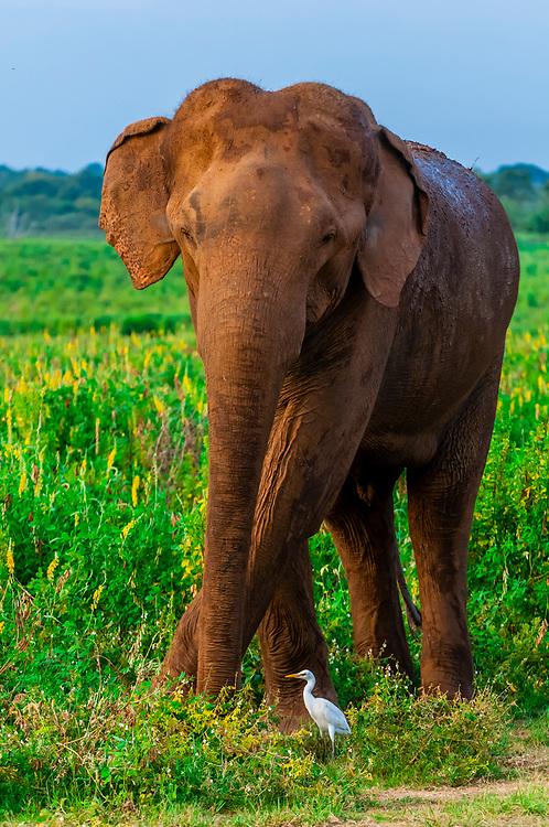 Uda Walawe National Park, Sri Lanka.
