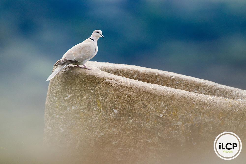 Eurasian Collared-Dove (Streptopelia decaocto), Sierra de Andujar Natural Park, Sierra de Andujar, Sierra Morena, Andalusia, Spain