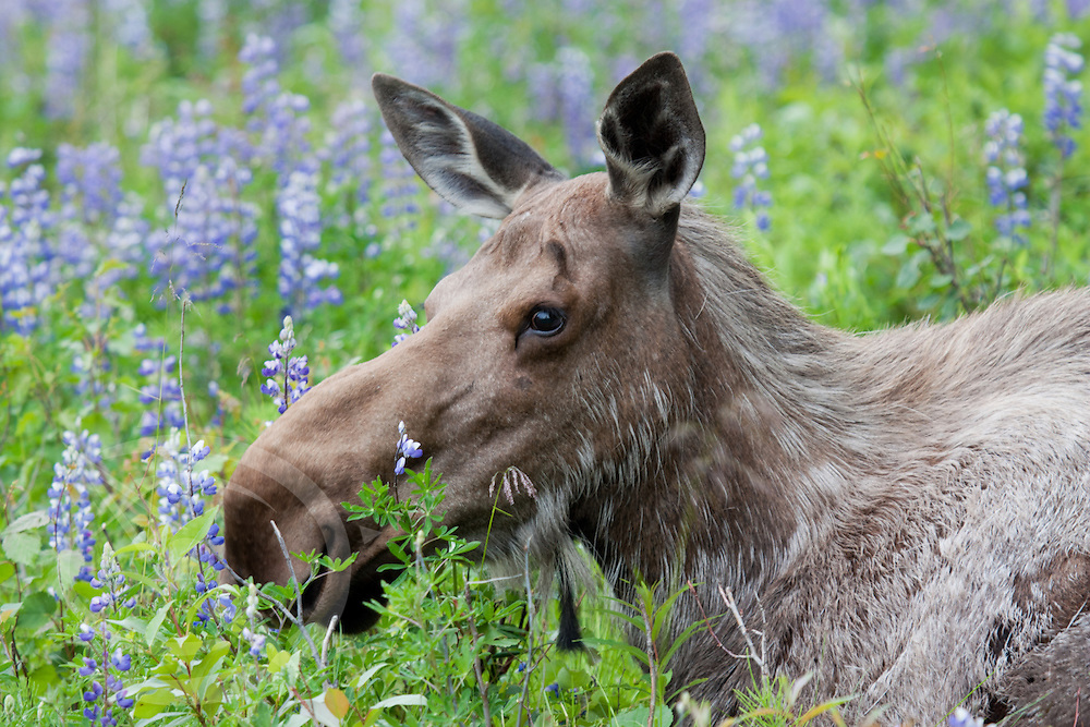 A female moose takes in the fragrance of the lupine blooms in southern Alaska. Kenai, AK