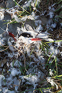 Remains of a Common Tern (Sterna hirundo) devoured by a Peregrine Falcon earlier in the day. Stratton Island, Maine.